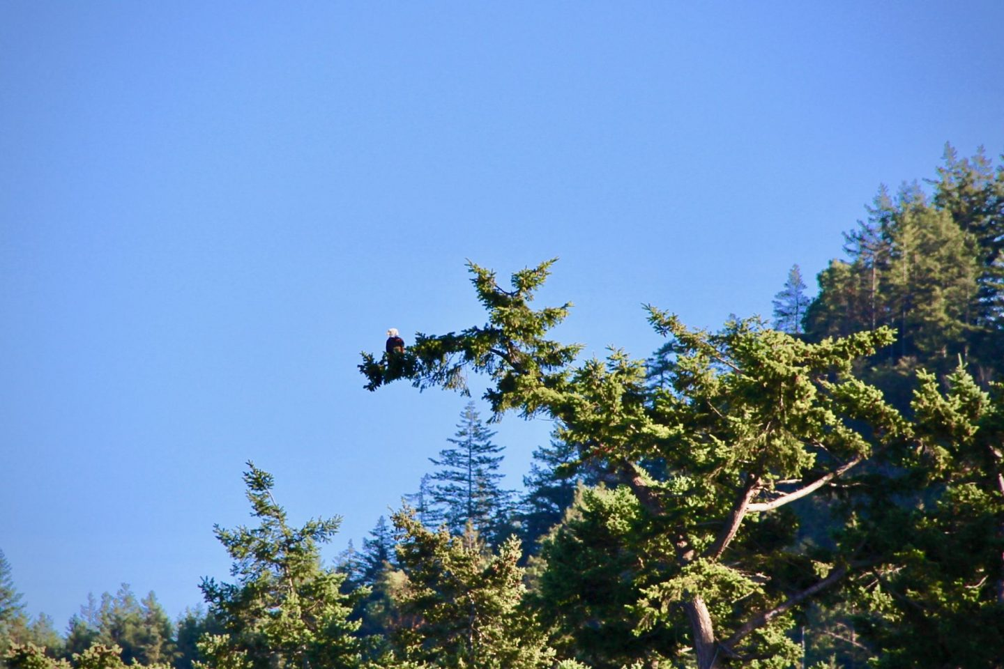 Bald Eagle near San Juan Islands, Washington | The Spectacular Adventurer