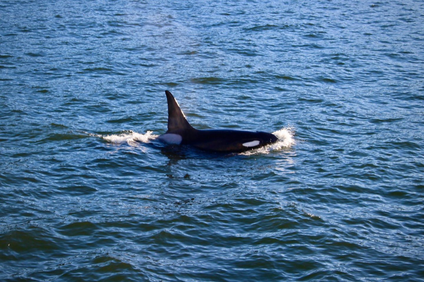 Orca whales near San Juan Islands, Washington | Whale Watching | The Spectacular Adventurer