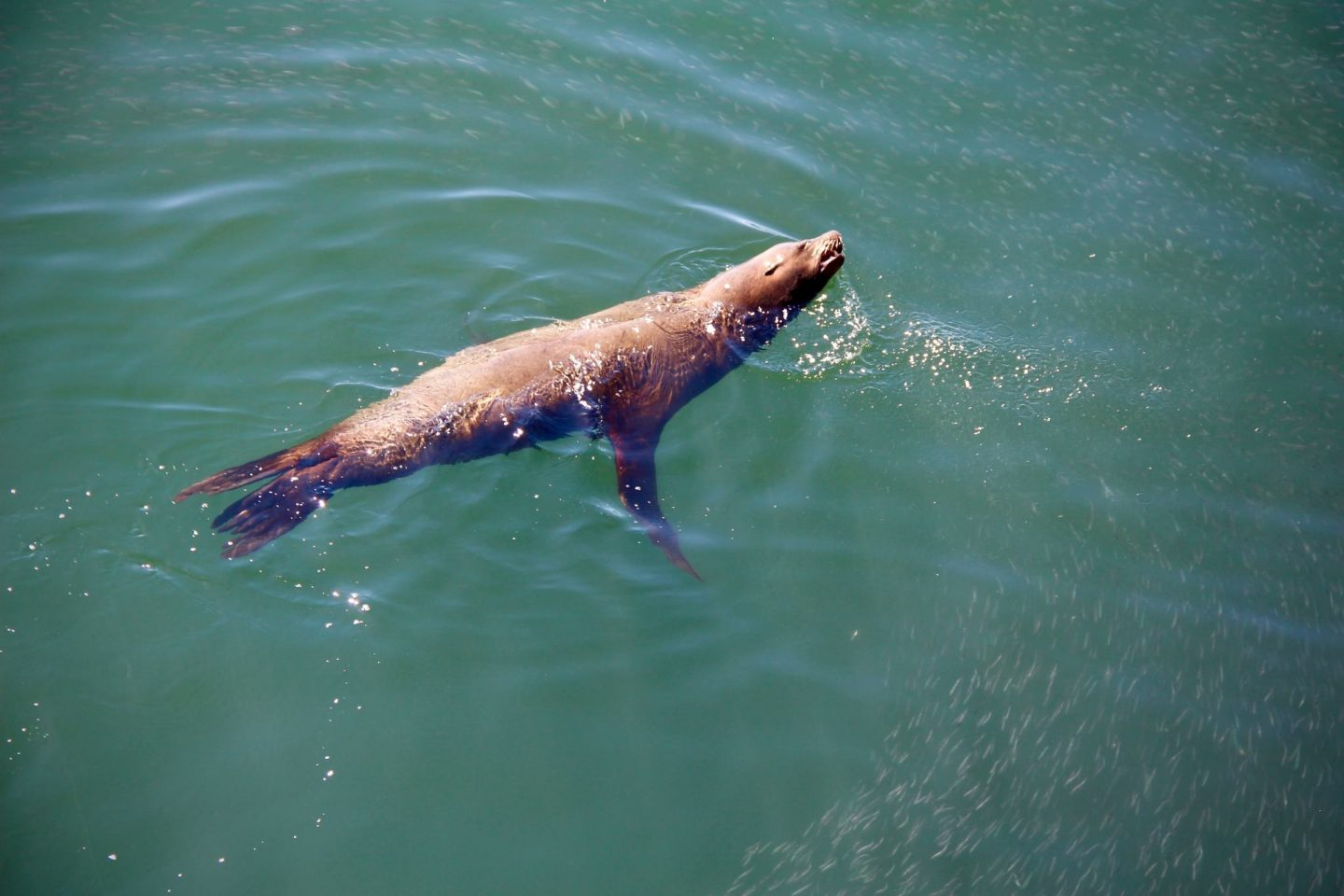 Santa Cruz Pier Sea Lion, Santa Cruz, California - The Spectacular Adventurer