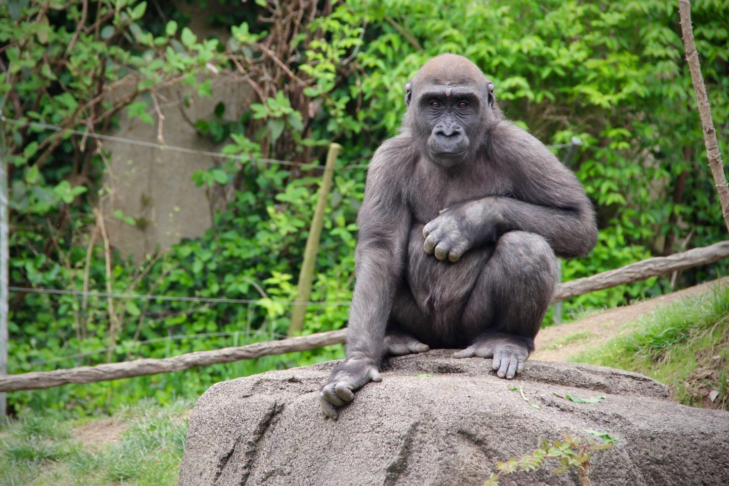 Gorilla at the Cincinnati Zoo ... The Spectacular Adventurer
